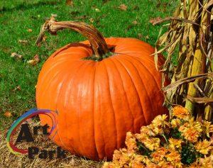 Pumpkins, mums and cornstalks close-up.